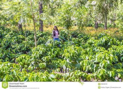 El cafetal de guatemala la identificación annie maria los pueblos que visitamos cena san pedro las huertas san juan del obispo san finca filadelfia: Guatemala Coffee Plantation Editorial Stock Photo - Image of ranch, leafy: 58229618