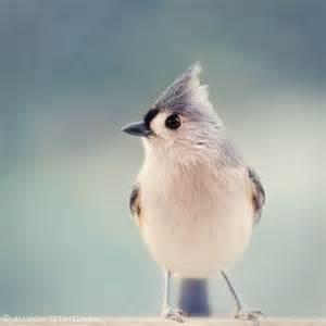 Tufted Titmouse Winter Birds