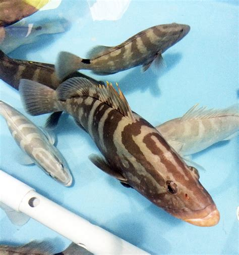 grouper bahamas fish aquaculture focuses venture marine value seafood tropic phase important development early project
