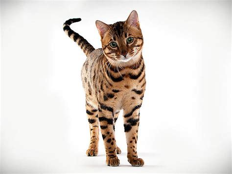 Animal Planet Cats 101 Bengal  Bing Images