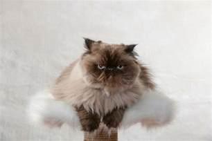 himalayan cats himalayan cat breed information pictures characteristics
