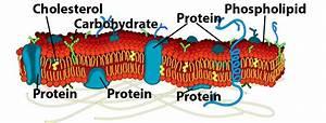Membranes Interactive Tutorial 2  Membrane Structure