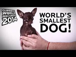 World's Smallest Dog! - Guinness World Records 2014 - YouTube