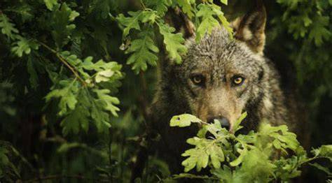 aumenta la caza del lobo iberico en castilla  leon