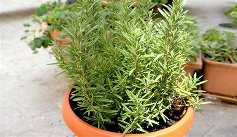 coltivare in casa come coltivare il rosmarino sul balcone ohga