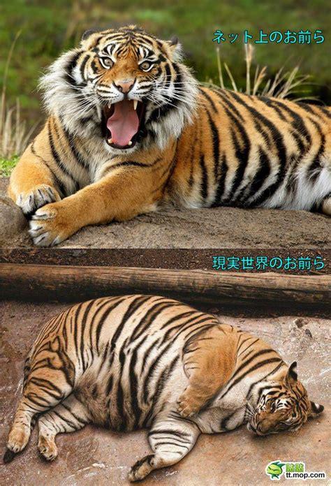 Funny Fat Tiger