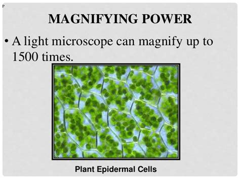 light microscopes can magnify objects up to cellular organization of plants and animals