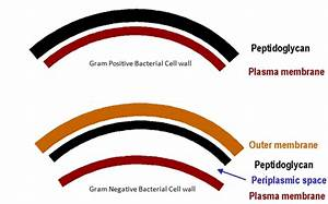 Differences between Gram positive and Gram Negative ...
