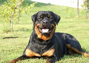 Picture of Rottweiler on Animal Picture Society