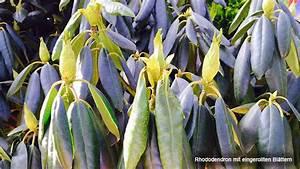 Rhododendron Eingerollte Blätter : rhododendron pflanzen pflegen und schneiden ~ Markanthonyermac.com Haus und Dekorationen
