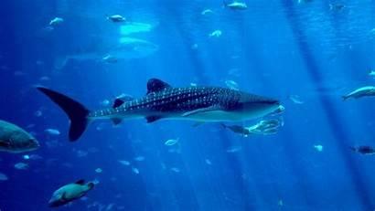 Whale Shark Wallpapers Sea Creatures Underwater Desktop