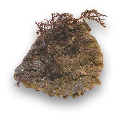 huitres plates sauvages conservation prix conseils dachat