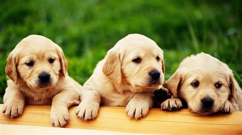 Cute Puppies Hd Wallpapers Collection