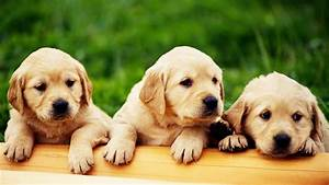 Cute Puppies HD Wallpapers Collection ~ Desktop Wallpaper