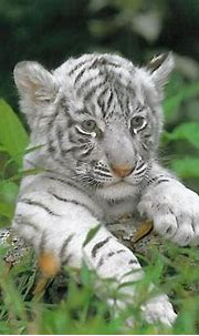 Pin by Rachel Pina on Tigers R US | Cute tiger cubs, Pet ...