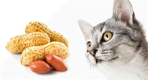 can cats eat nuts