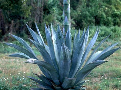 best agave 18 best images about beautiful agave on pinterest glow agaves and the rock