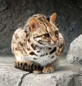 leopard cat for file leopard cat tennoji crop jpg
