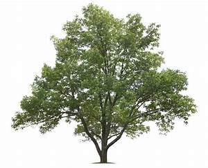 Information About White Ash Trees