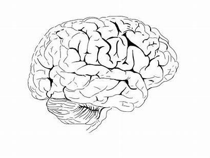 Brain Coloring Nervous System Anatomy Human Worksheet