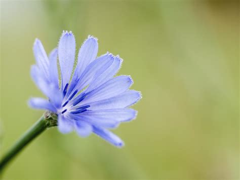 chicory good    dr weil