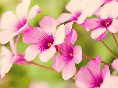 Petals Flower Pink Desktop Background Standard