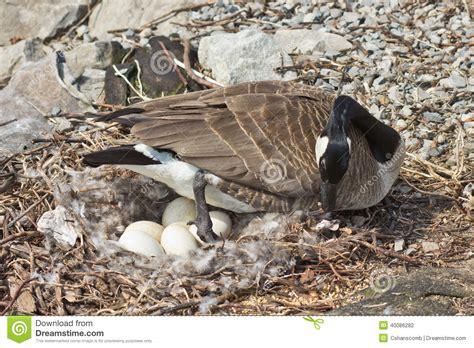canada goose tending  nest stock photo image