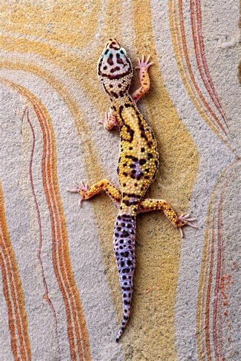 leopard gecko colors leopard gecko captivating color