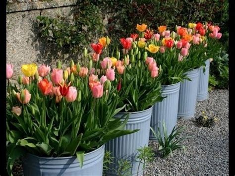 when do u plant tulips how to plant and grow tulips youtube