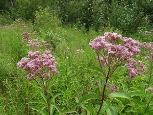 Health Food Store Resume Joe Pye Weed Pictures Flowers Leaves And Identification