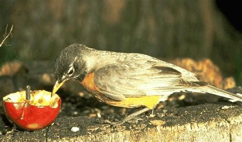 journey north 1998 american robin