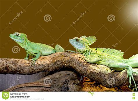 basilisco plumed lagarto imagen de archivo imagen de