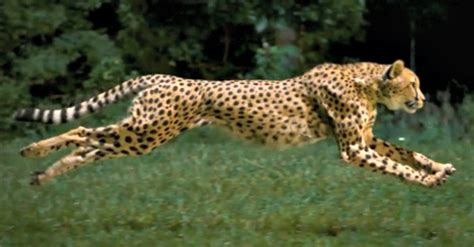 The Fastest Land Animal