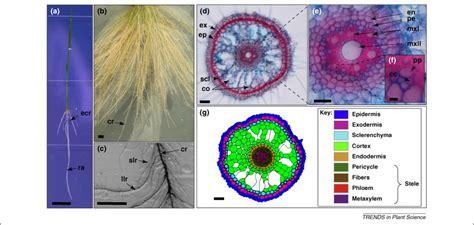 genetic control  root development  rice  model