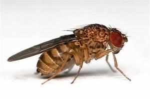 Drosophilamelanogaster