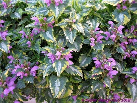 lamium greenaway plantfiles pictures spotted dead nettle anne greenaway lamium maculatum by kell