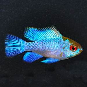 Tropical Fish for Freshwater Aquariums Electric Blue Ram