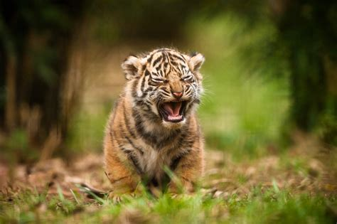 animals tiger baby animals wallpapers hd desktop