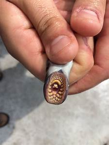 Images Of Giant Sea Lamprey Bite Golfclub