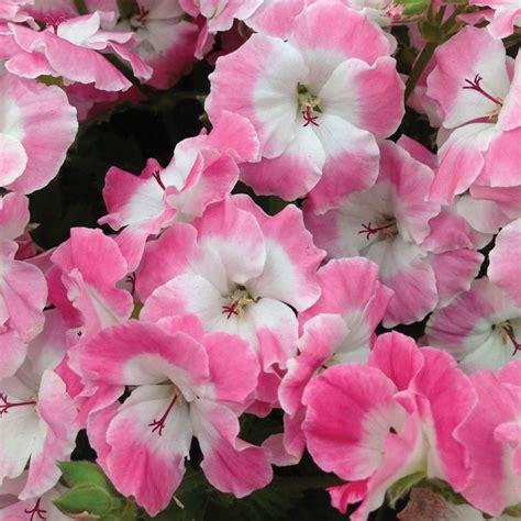 care of pelargoniums regal geranium bermuda rose pink pelargonium 2015 inspiration pinterest bermudas roses