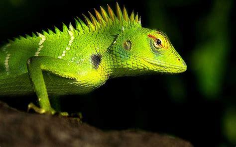lizard pictures - HD Desktop Wallpapers | 4k HD