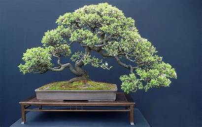 Bonsai Japan Trees Wallpapers Background Wall