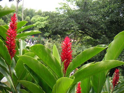 exotische pflanzen die richtige pflege fuer die alpinia