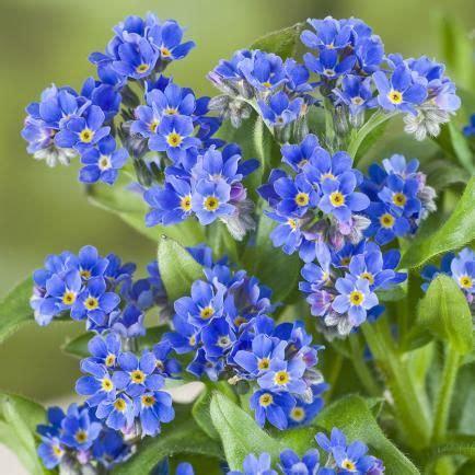 blume vergissmeinnicht bilder vergissmeinnicht vergissmeinnicht vergissmeinnicht blumengarten und blaue blumen