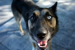 Dog with Two Different Colored Eyes