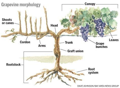 anatomy wine grapevine tendrils lesson