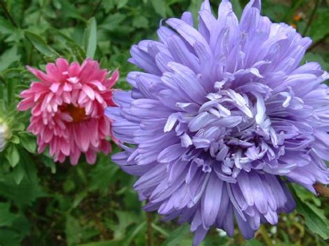 Gardenseed China Aster Crego Mixed