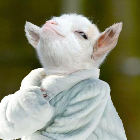 internet photoshopea  esta pequena  muy presumida cabra