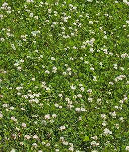 Overseeding White Clover Seed For Grazing ...