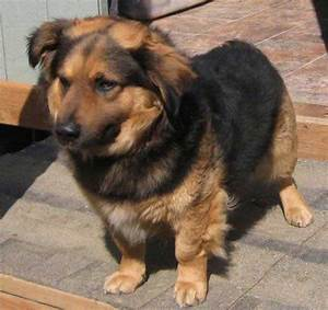 The Miniature German Shepherd: The Truth About This ...